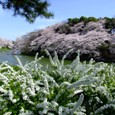 Chidorigafuchi_full_of_flowers