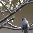 bulbul and plum tree