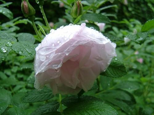 1pinkpurple_rose