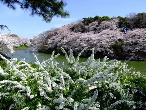 Chidorigafuchi_full_of_flowers
