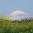 Nanohana and Fuji