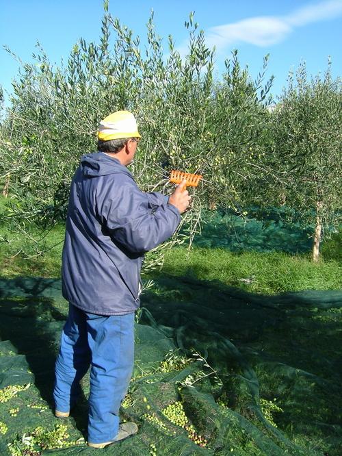 raccogliere le olive
