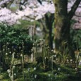 Sakura_warabi_knzw03