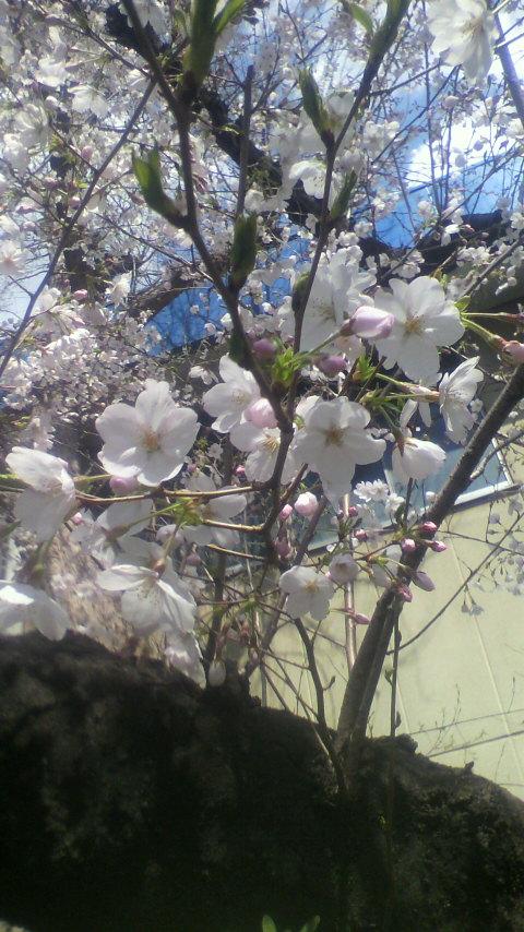 さくら・桜♪